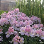 Garden Flowers3